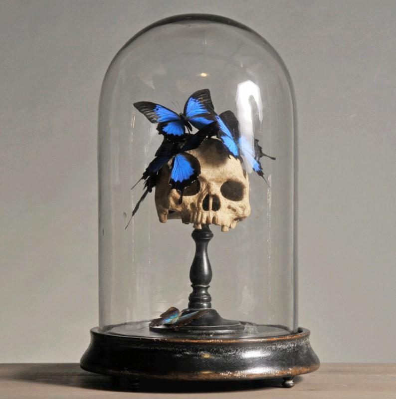 globe verre nature morte t te de mort papillons bleus phosphorescents morpho didius crane. Black Bedroom Furniture Sets. Home Design Ideas