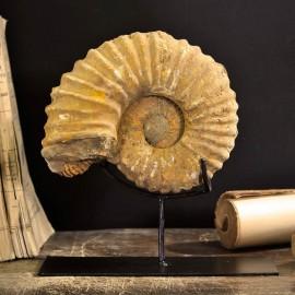 Ammonite (Madagascar) sur metal noir