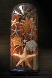 Etoiles de mer sous Globe - 10 espèces