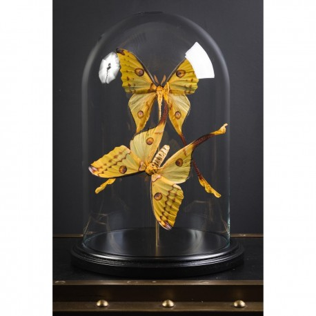 Globe Papillons Comètes de Madagascar