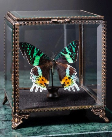 Diurnal Butterfly in Victorian Box