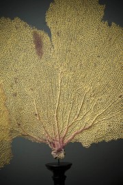 Yellow Sea Fan On Black Stand