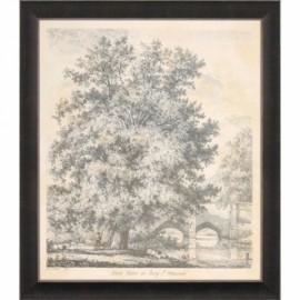 """""""Black Poplar"""" Engraving - J. Strutt"""