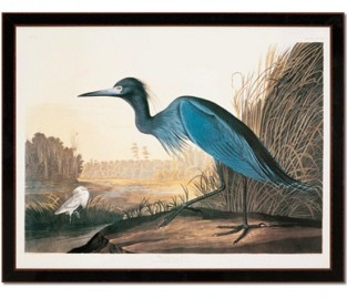 Grande gravure grue bleue, Audubon