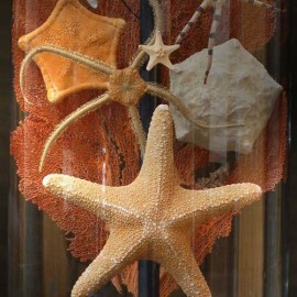 Sea stars in family under glass.