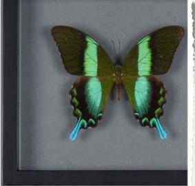 6 Papillons sous cadre - Série