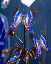 Globe 8 papillons Rhetus dysonii