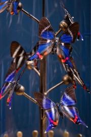 8 Rhetus dusonii Butterflies