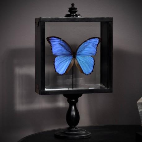 Beau Papillon MORPHO Didius