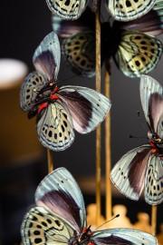 Blue Butterflies A. LEPRIEURI, Brass Diplay