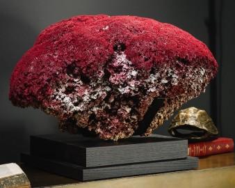 Corail Rouge Tubipora Musica, Unique !