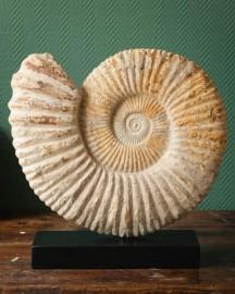 Grosse Ammonite (Madagascar) sur socle noir
