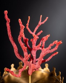 Red Coral of Madagascar